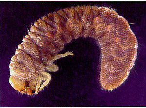 infected grub pic